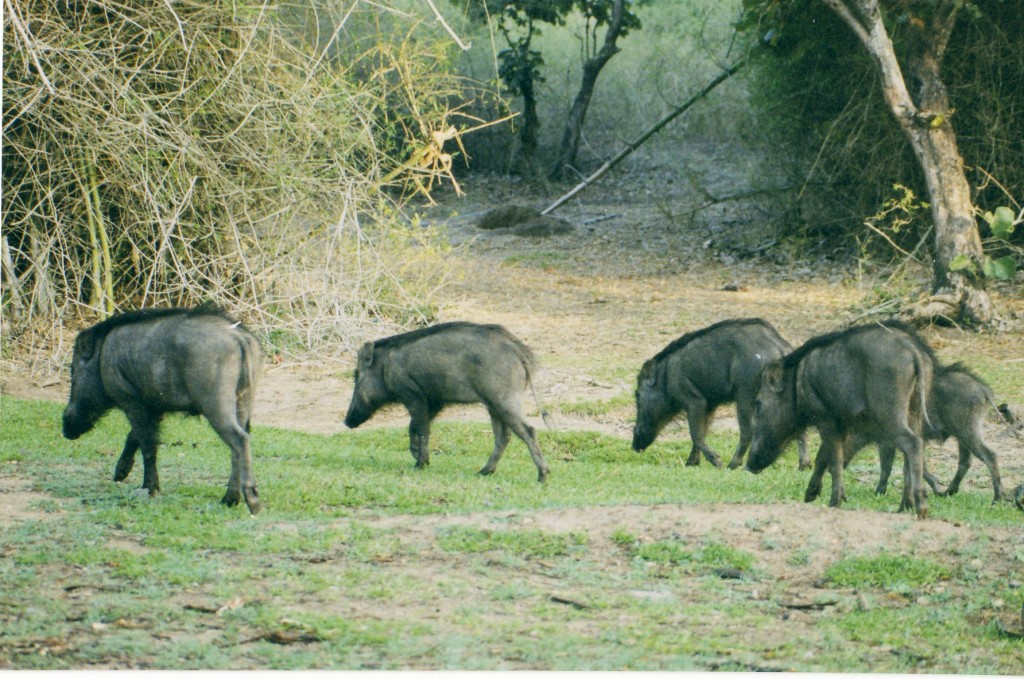 European hunter-gatherers acquired domesticated pigs from nearby farmers as early as 4600BC, according to new evidence. Image Source, Wikimedia Commons.