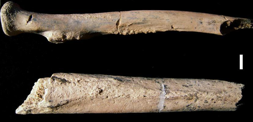 Arm bone fragments from a 1.34-million-year-old hominin, Paranthropus boisei, were discovered by an international research team, including a CU Denver anthropologist, in Tanzania. Credit: University of Colorado Denver.