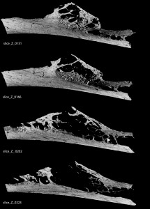 CT scan of rib from Krapina. Image Courtesy of Penn Museum