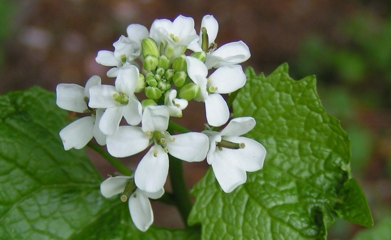 Garlic mustard (Alliaria petiolata), a spice used by our ancestors. Image Source, Wikimedia Commons.