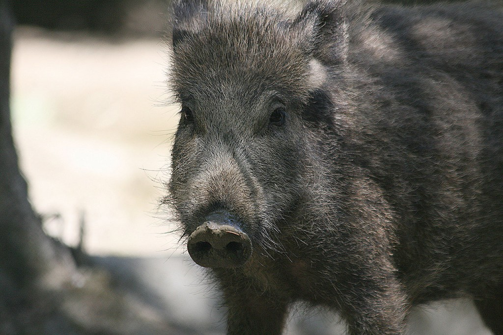 Israel's Wild Boar may have originated in Europe. Image Source: Wikimedia Commons.