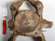 Neck ribs in woolly mammoths provide clues about their decline and eventual extinction