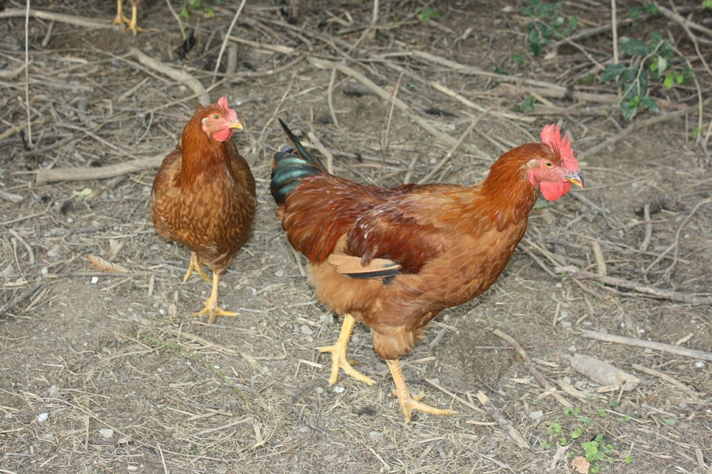Chick, chick, chick, chick, chicken... How is it you came to be? Image Source: Wikimedia Commons.